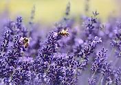 Lavende plant flower leaves honey bee - Lavendula angustifolia essential oil