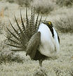 Nature-Prairie-Greater-Sage-Grouse-Wildl