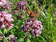 Wild Marjoram plant leaves flowers butterfly - Thymus mastichina essential oil