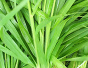 Vetiver plant leaves grass roots - Vetiveria zizanoides essential oil