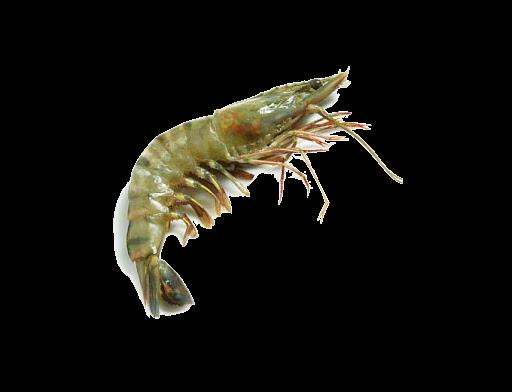 Frozen Head on Shell Shrimp