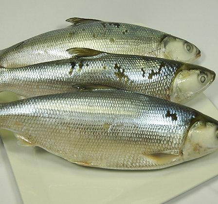 Milk Fish
