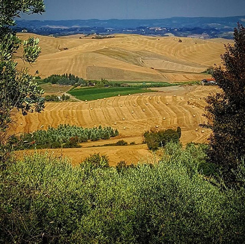 It's time to #grainharvest in #chianni.