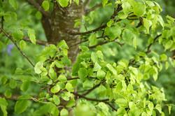 Plymouth Pear (Pyrus cordata)