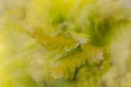 Pendunculate oak