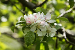 Apple malus Lucombes pine