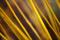 Salix alba vitellina