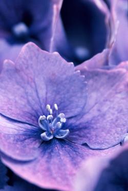 Hydrangea (unknown variety)