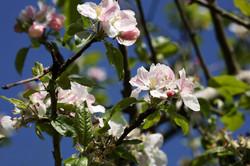 Apple Devonshire Buckland