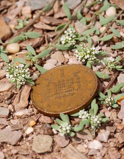 Strapwort (Corrigiola litoralis)