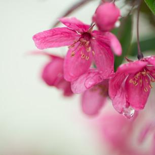 Cherry Blossoms-007.jpg
