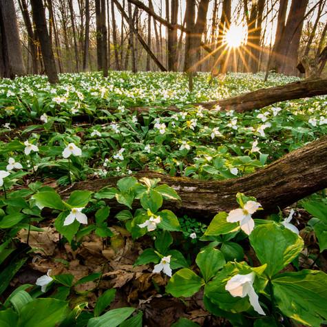 Aman Park Trilliums 05-10-015.jpg