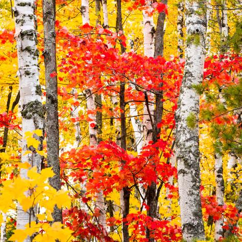 Birch Forest-092.jpg