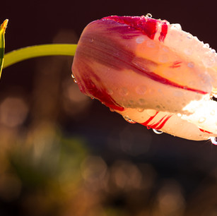 tulip-6.jpg