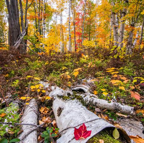Birch Forest-112.jpg