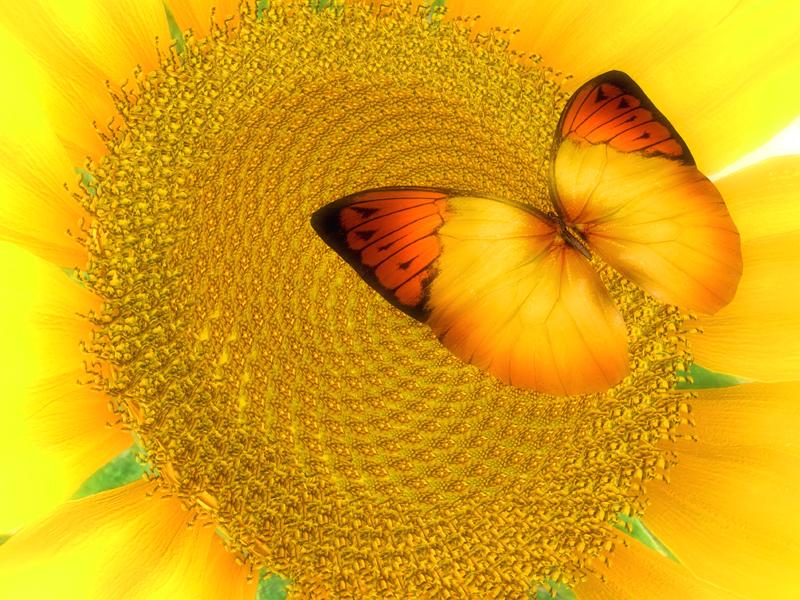 SunflowerAndButterfly800