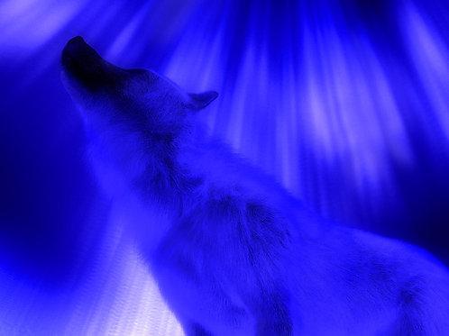 Arctic Wolf Shine