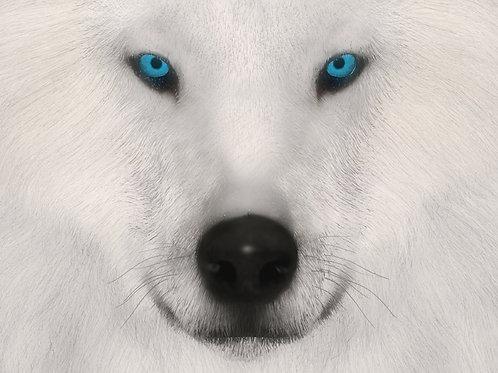Arctic Wolf Stare