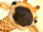 BabyGiraffeWonder800.jpg