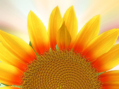 Sunflower Sunrise Bright