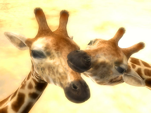 Giraffe Affection