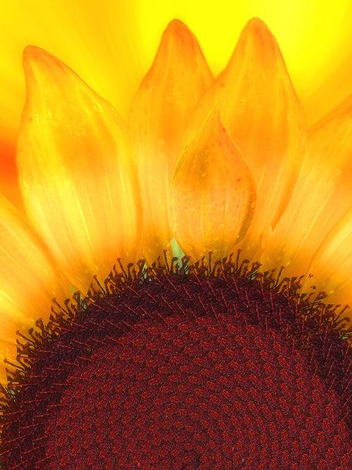 Sunflower Yellow Sunrise