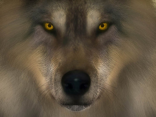 Wolf Yellow Eyed Stare