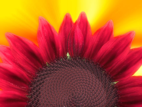 Sunflower Sunrise Red