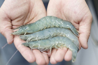 truShrimp_3_in_hands.jpg