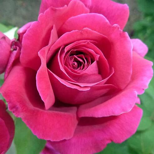 Rose, Red Bulgaria Pic.jpg
