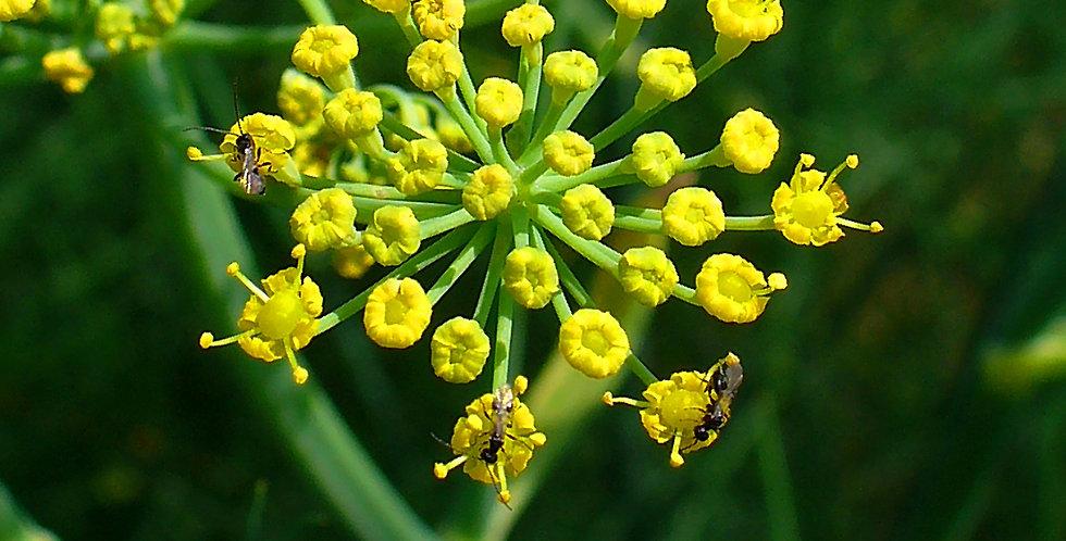 Organic Sweet Fennel Essence 15ml