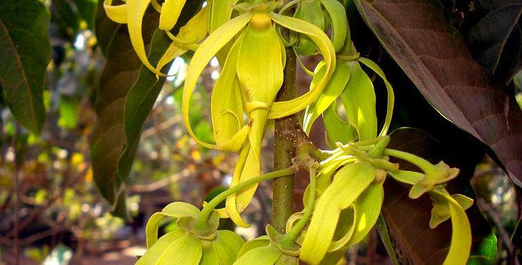 Organic Ylang Ylang Essence  15ml