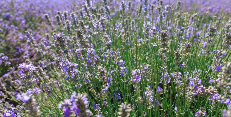 Organic Bulgarian Lavender Essence 15ml