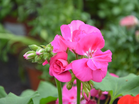 Essence of the Week: Rose Geranium