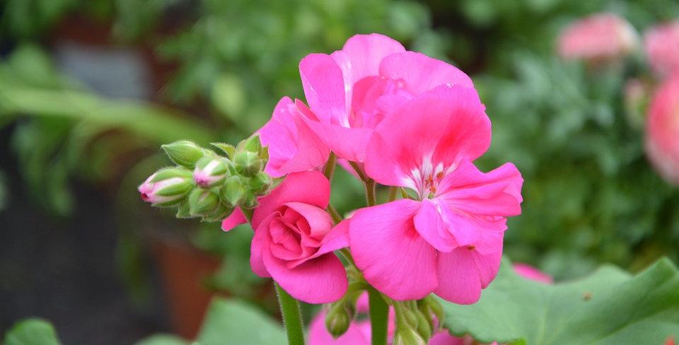 Organic Rose Geranium Essence  15ml