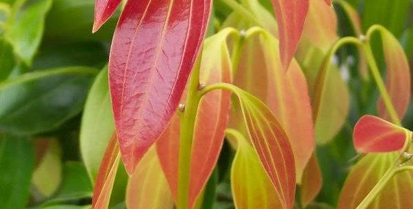 Organic Cinnamon Leaf Essence 15ml