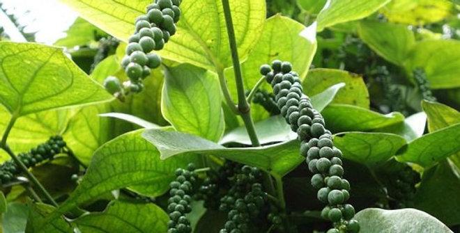Organic Black Pepper Essence 15ml
