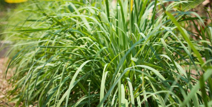 Organic Lemongrass Essence 15ml