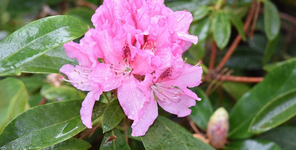 Wild Rhododendron Essence 15ml