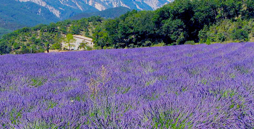 Organic Extra-Fine Lavender Essence 15ml