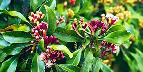 Organic Clove Bud Essence 15ml