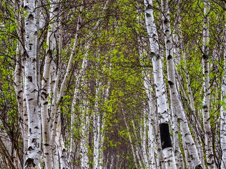 Essence of the Week... Sweet Birch