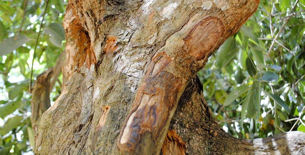 Organic Cinnamon Bark Essence 15ml