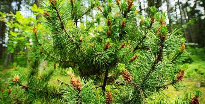 Organic Scotch Pine Essence 15ml