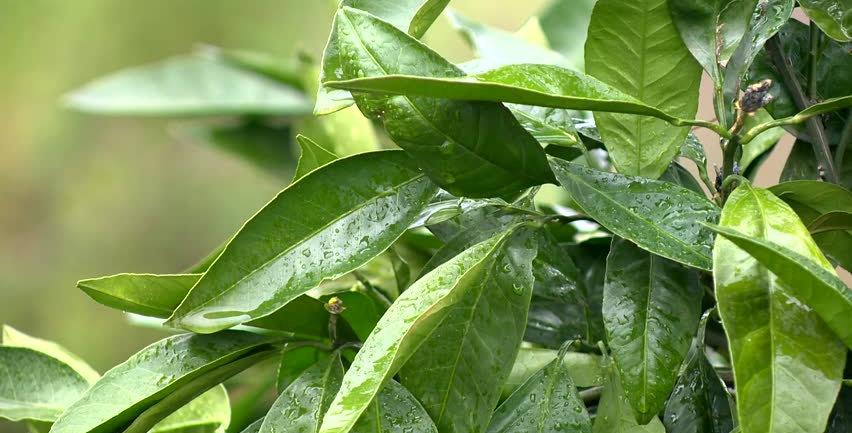Organic Laurel Leaf Essence (Turkey or Slovenia) 15ml
