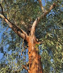 Essence of the Week: True Eucalyptus