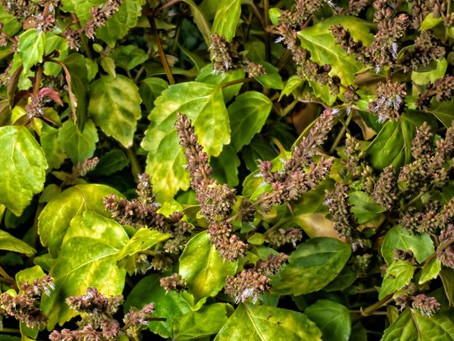 Essence of the Week:  Patchouli