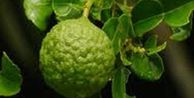 Organic Petitgrain Combava Essence 15ml