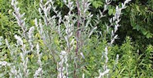 Organic Common Mugwort Essence  15ml