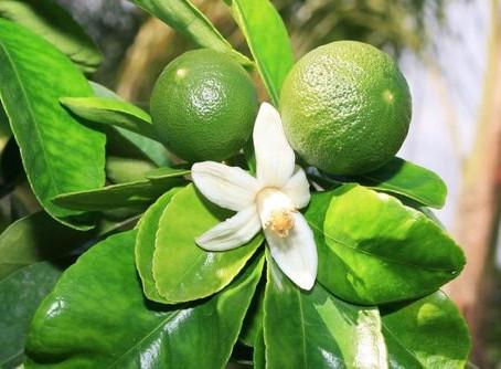 Essence of the Week:  Green Mandarin
